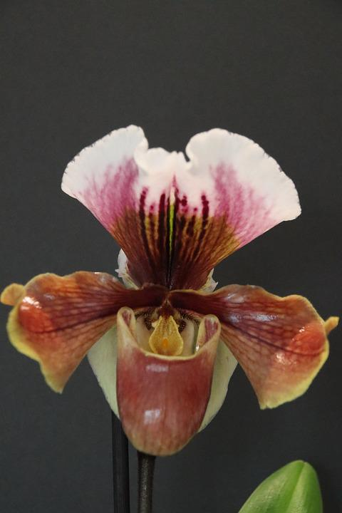 Orchid, Blossom, Bloom, Frauenschuh, Exotic, Close Up