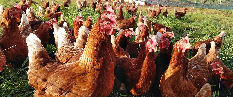 Chicken, Chickens, Hen, Poultry, Farm, Free Range