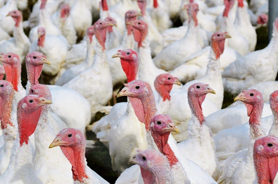 Turkeys, Birds, Plumage, Poultry, Free Range