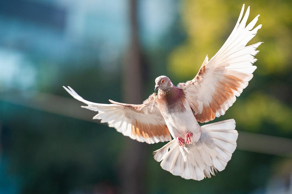 Bird, Dove, Animal, Flying, Freedom
