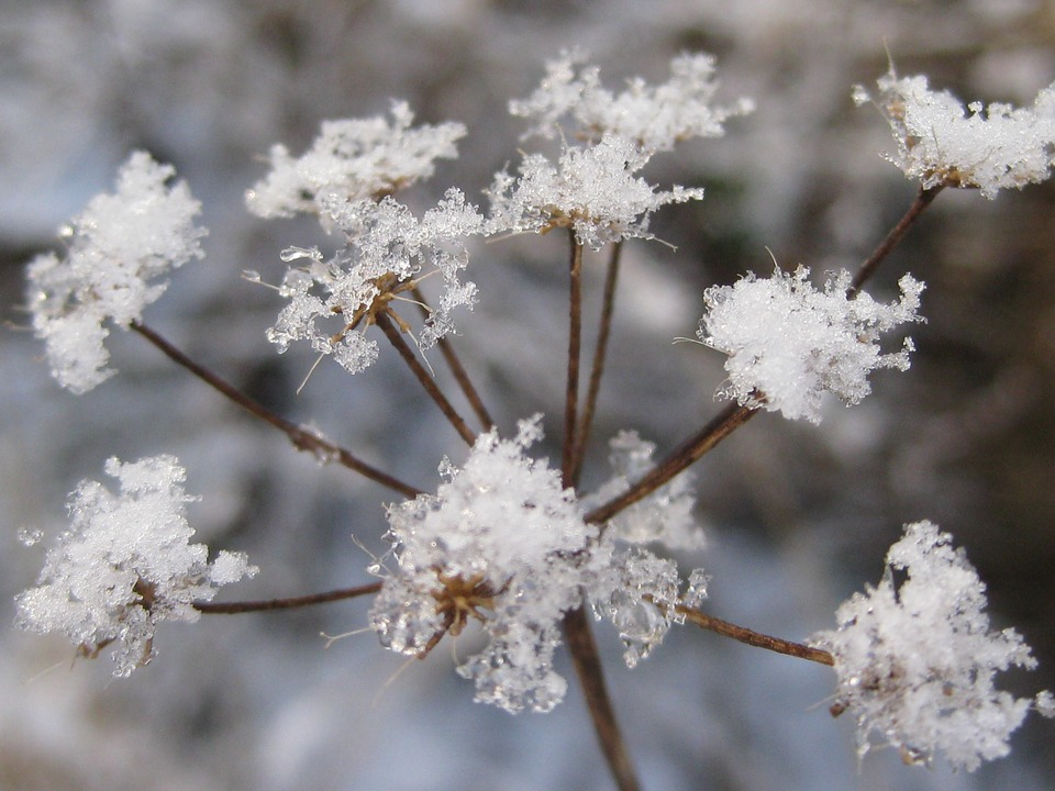 Frost, Flower, Seed Head, Freeze, Plant, Winter, Cold