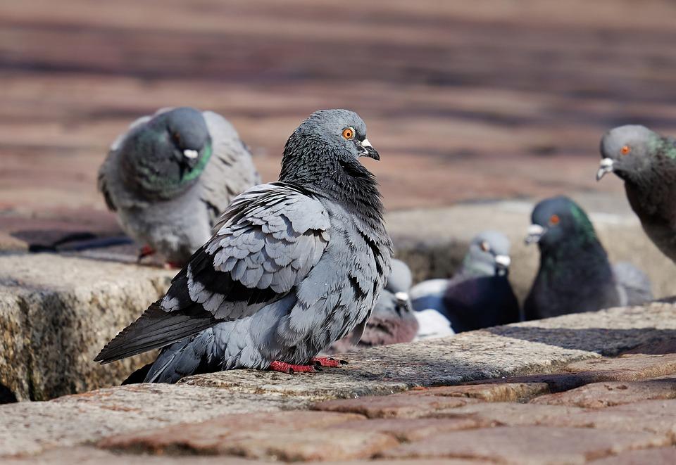 Pigeons, City Pigeons, Paddling, Bächle, Freiburg