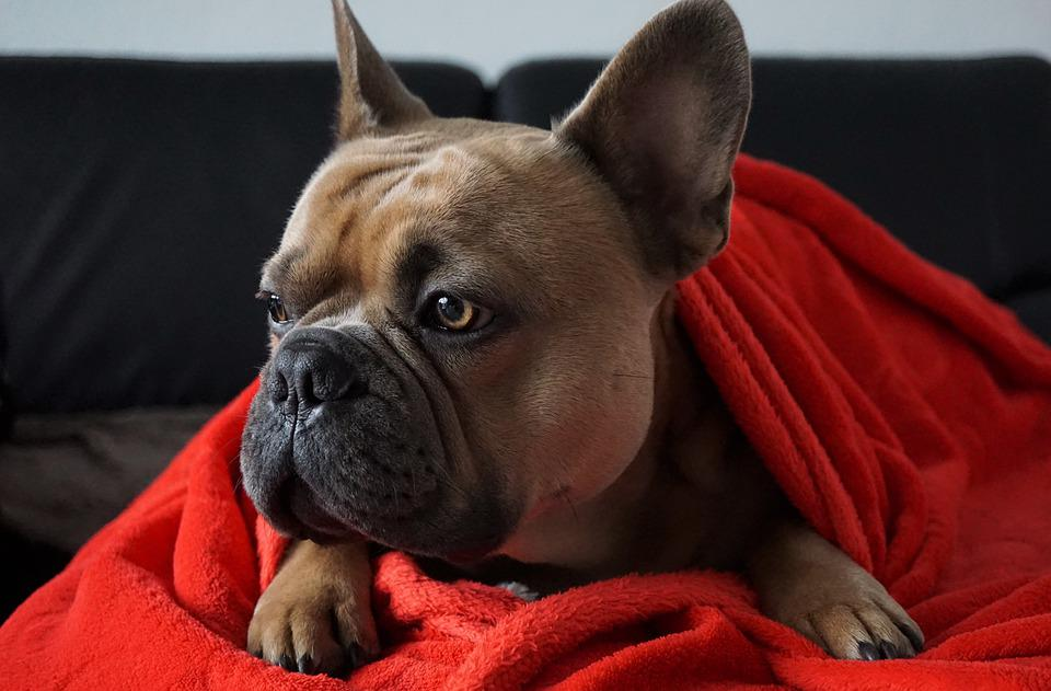 French Bulldog, On The Couch, Snuggled, Dog, Portrait
