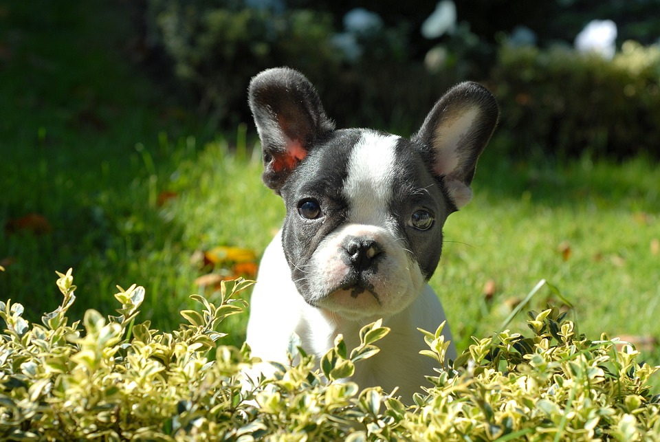 Puppy, Animal, Happy, Grass, Small, Dog, Frenchie
