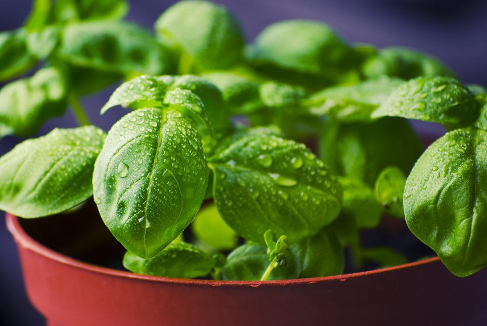 Basil, Herbs, Food, Fresh, Cooking, Ingredient, Healthy