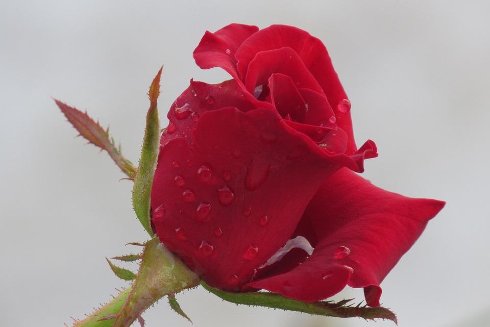 Free Photo Fresh Bloom Dew Petal Red Rose Wet Nature Flower Max Pixel
