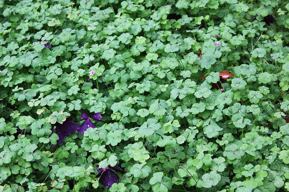 Clover, Green, Lucky, Luck, Fresh