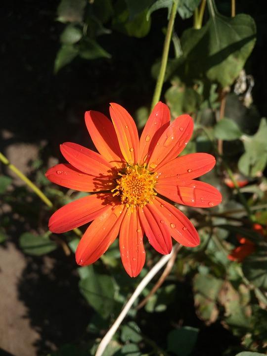 Flower, Nature, Drops, Fresh