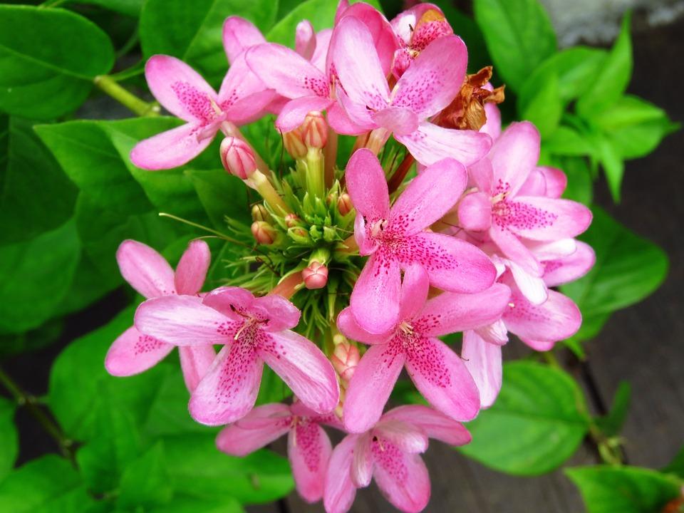Flowers, Fresh Flower, Garden, Pink Flower, Pink