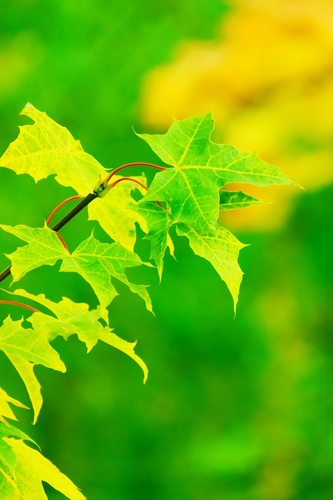 Maple, Leaves, Green, Fresh, Summer, Bright, Color