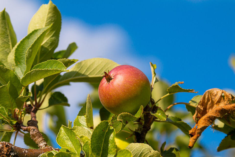 Apple, Tree, Fruit, Leaves, Nature, Healthy, Fresh