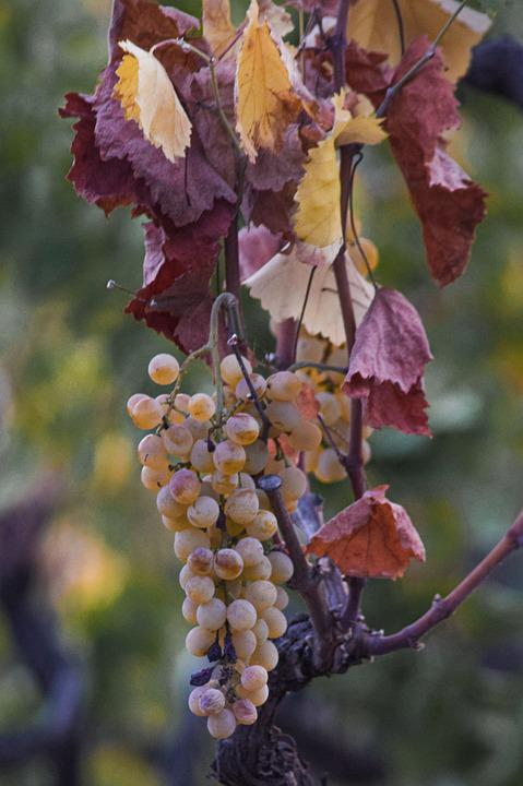 Grapes, Grape Vines, Leaves, Fresh, Fresh Grapes