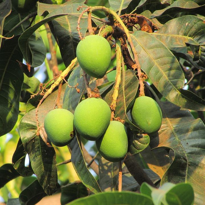 Fresh Mango, Fruit, Juicy, Food, Ripe, Healthy, Fresh