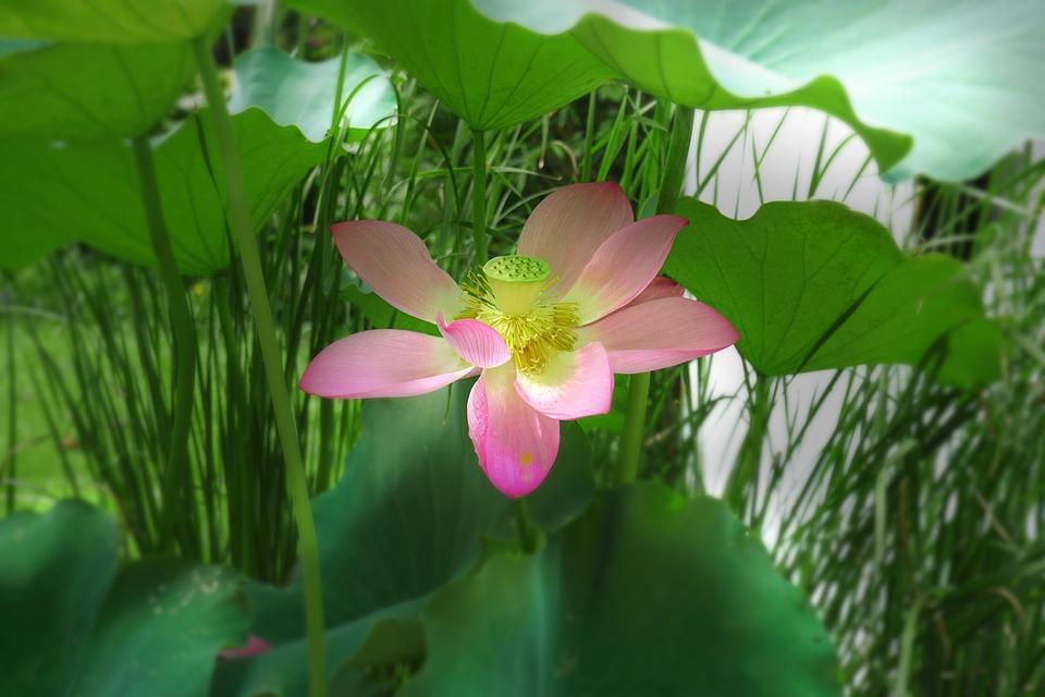 Lotus, Summer, Plant, Flowering, Fresh