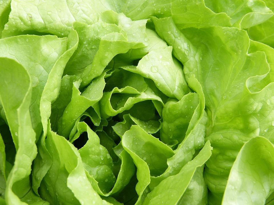 Salad, Lettuce, Green, Fresh, Vitamins, Vegetarian