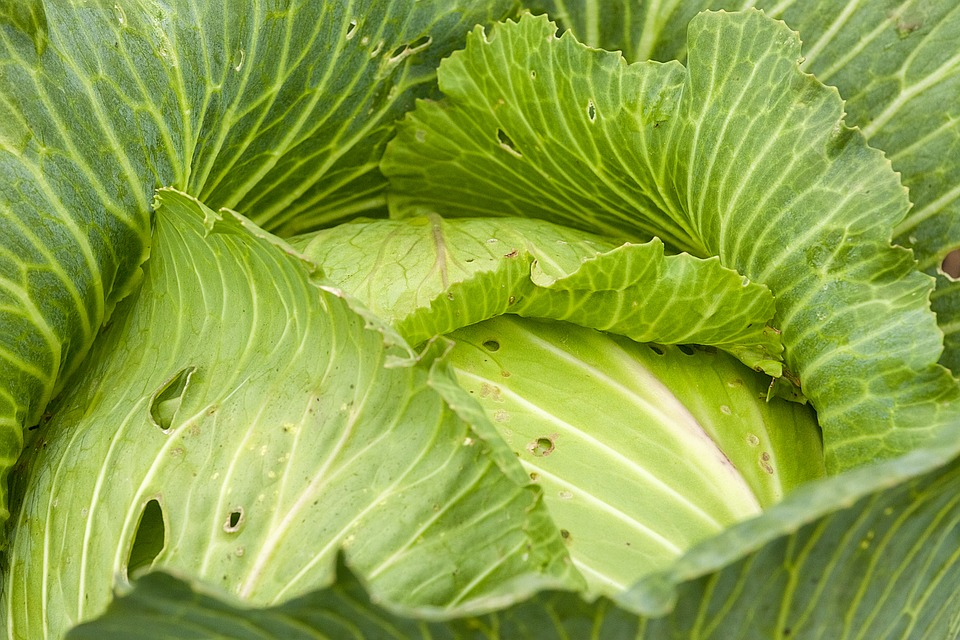 Cabbage, Fresh, Kochan, Greens, Vegetable Garden