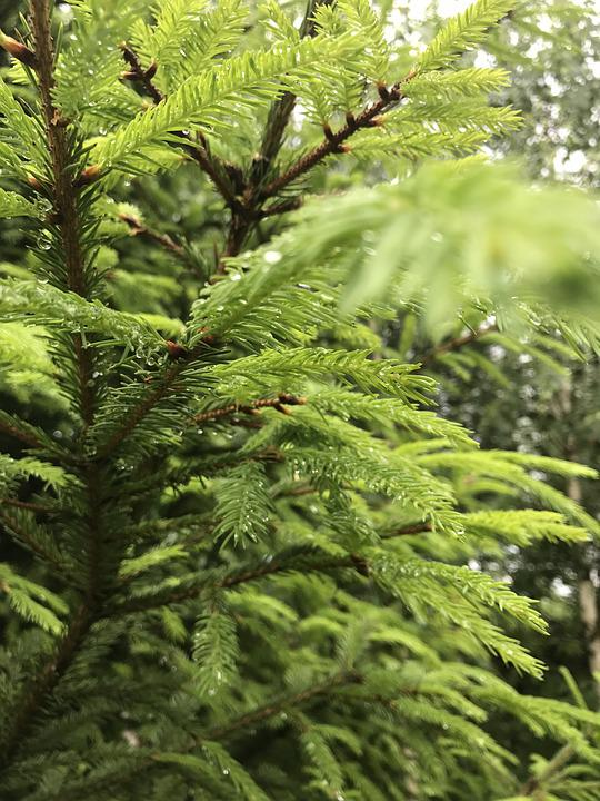 Spruce, Greens, Freshness, Needles, Nature, Forest