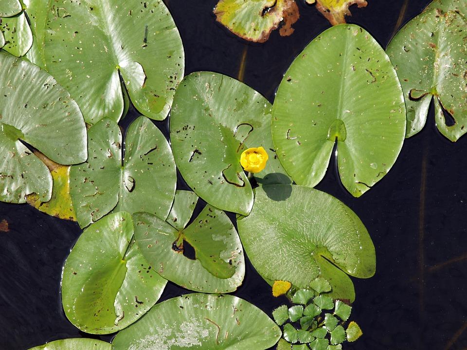 Water, Nuphar, Freshwater, Foliage, Flower, Green Leaf