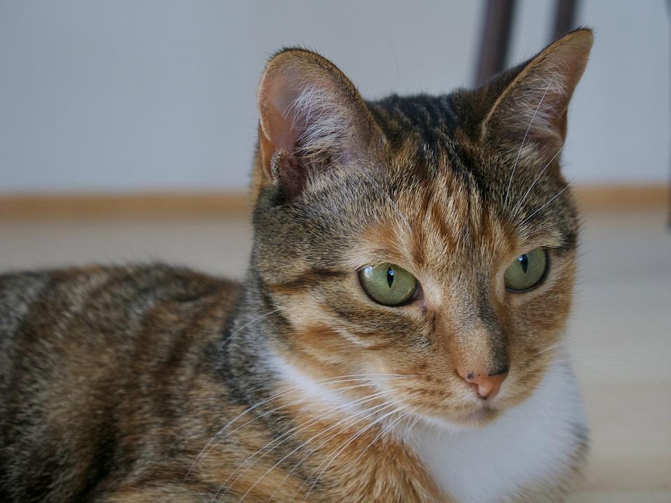 Cat, Animal, Tabby, Feline, Fur, Young, Friend