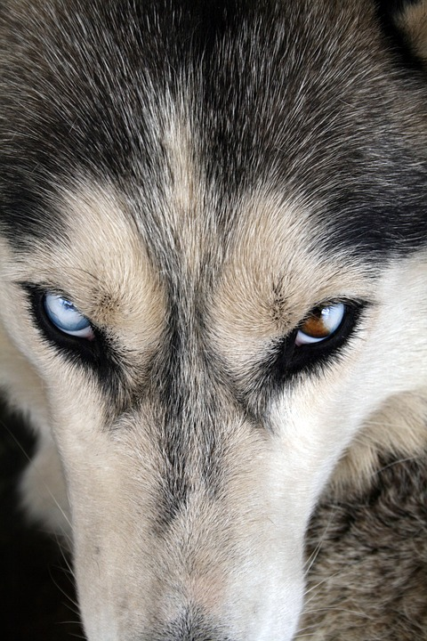 Husky, Eye, Dog, Canine, Portrait, Animal, Friend, Blue