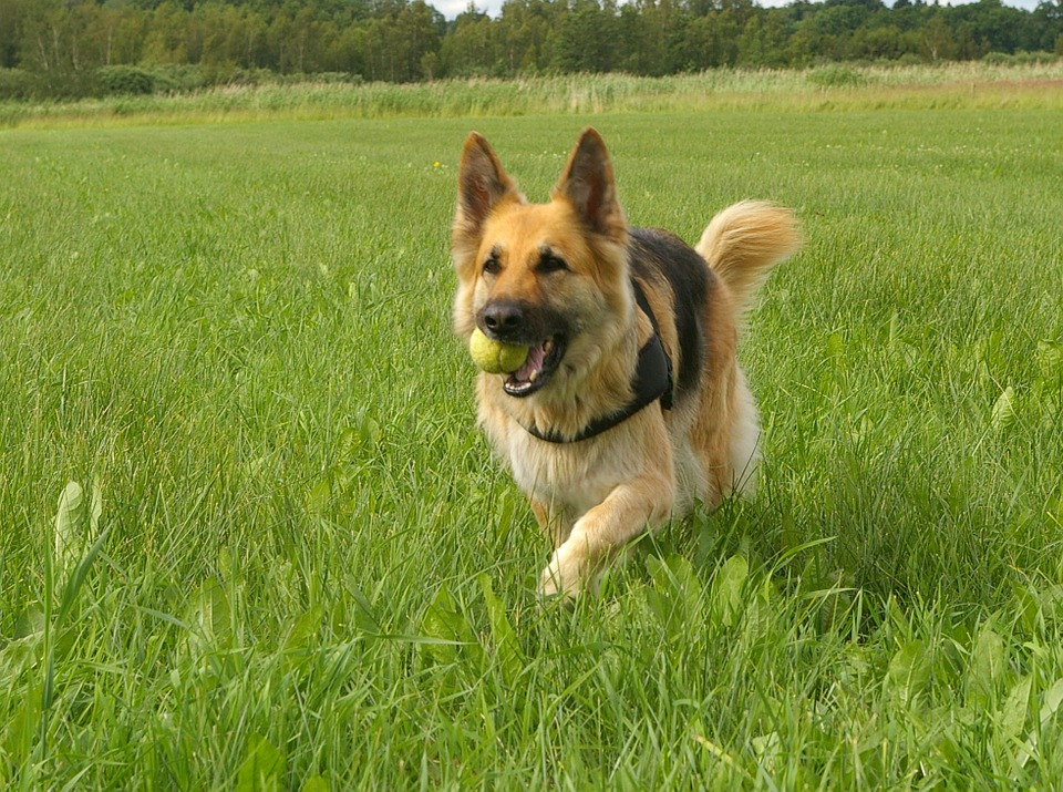 Dog, German Shepherd, Retrieving, Play, Friend, Happy