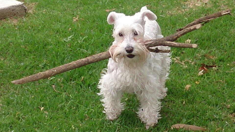 Schnauzer, Dog, Pet, Friend, Animal, Happy