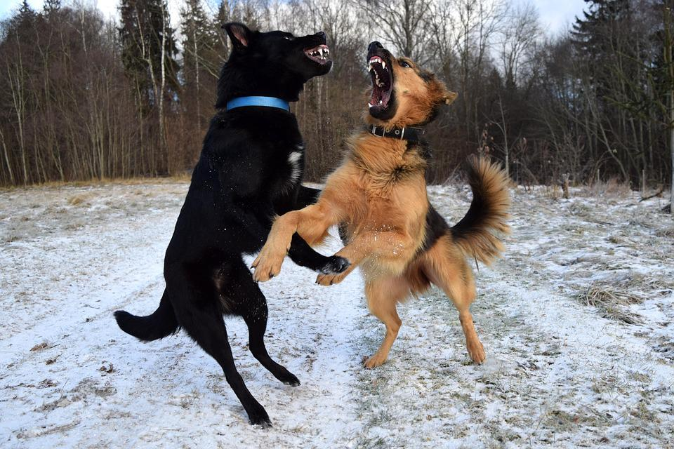 Dogs, Dogs Playing, Fight, Friendship, Together