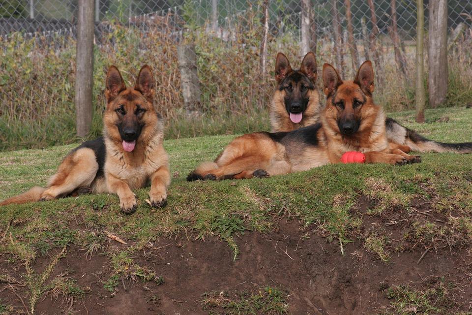 german shepherd social