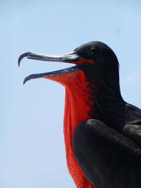 Frigate Bird, Frigate, Galapagos, Seabird, Ecuador