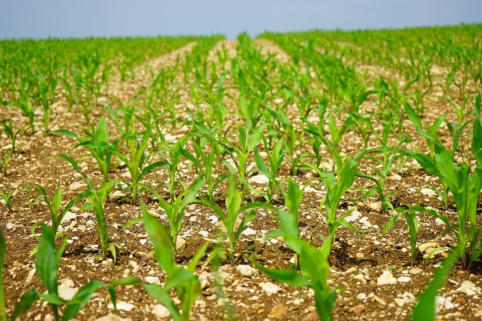 Cornfield, Corn, Field, Arable, Young Plants, Frisch