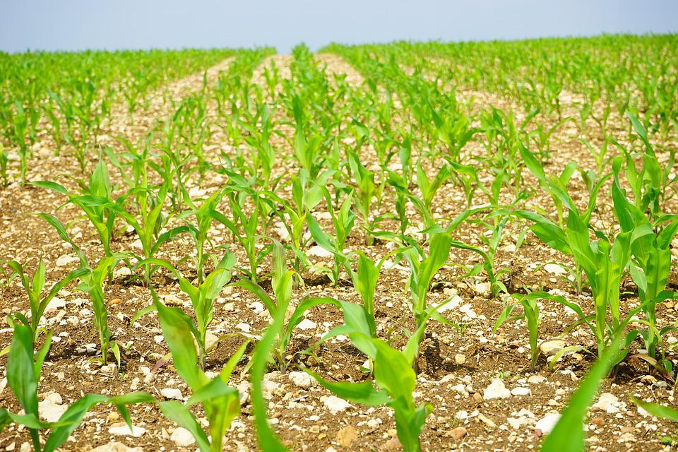Cornfield, Corn, Field, Arable, Young Plants, Frisch