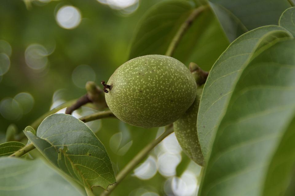 Walnut, Walnut Tree, Green, Fruit, Frisch, Healthy, Nut