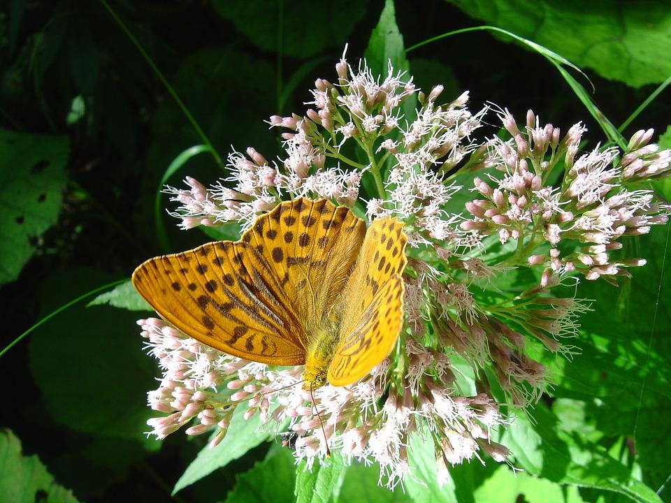 Fritillary, Butterfly, German Butterfly, Nature