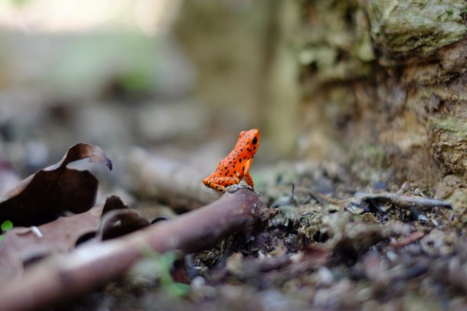 Amphibian, Frog, Animal, Macro, Wood, Red, Poisonous