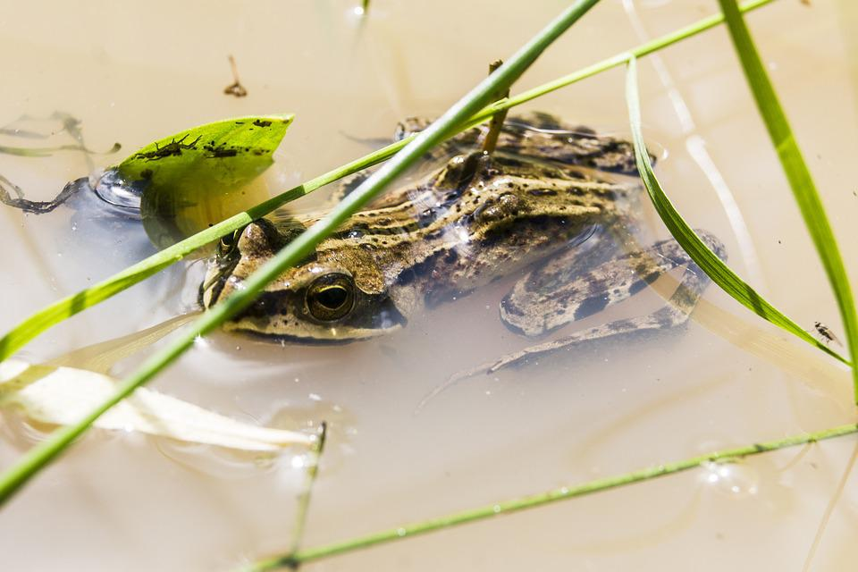 Frog, Amphibian, Swamp, Water, Animal, Forest, Nature