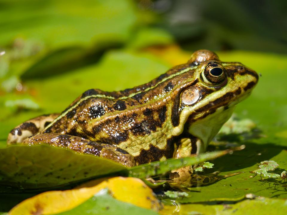 Animal World, Frog, Amphibian, Pond Inhabitants