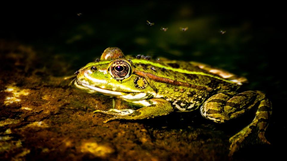 Ardeche, Frog, Animal, Green, Amphibian, Nature, Water