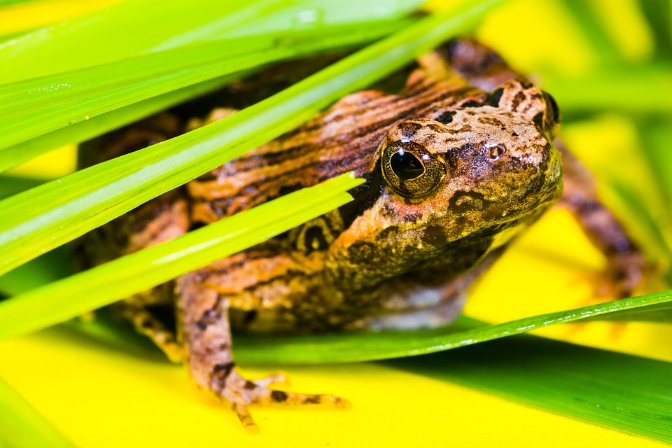 Frog, Animal, Nature, Anura, Banded Bullfrog, Amphibian