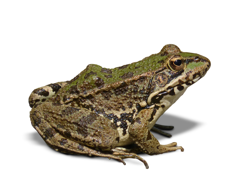 Frog, Batrachian, Transparent Background, Cropped Image