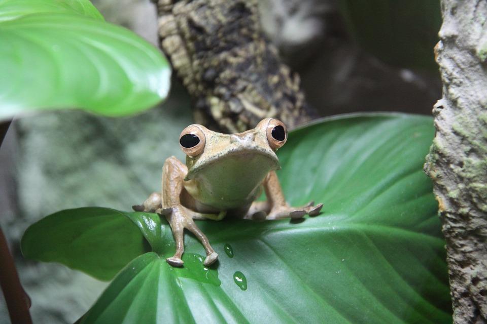 Frog, Ears Frog, Amphibians, Water, Nature, Animal