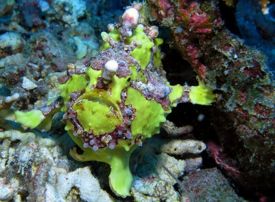 Frog Fish, Underwater, Scuba Diving, Undersea, Ocean