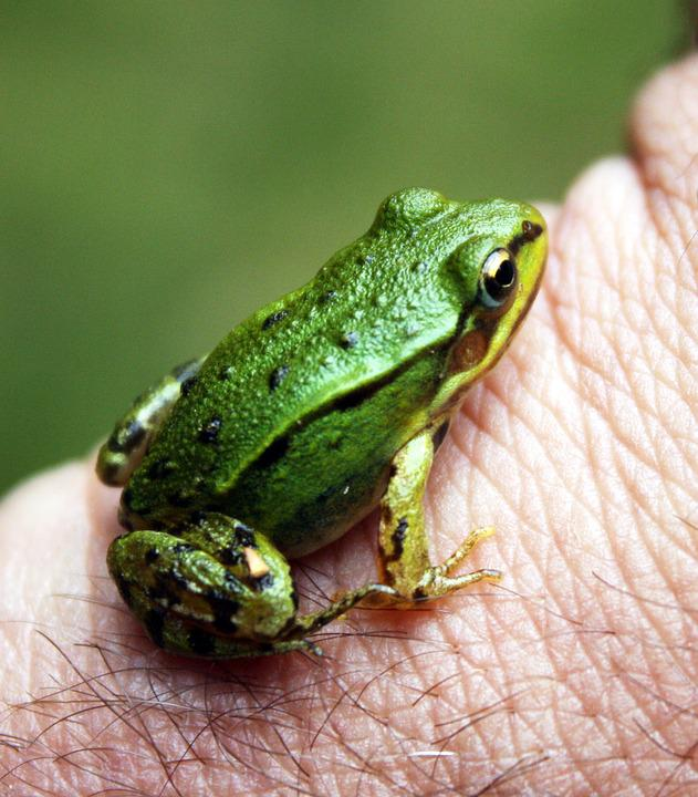 Frog, Green, Nature, Cute, Wildlife
