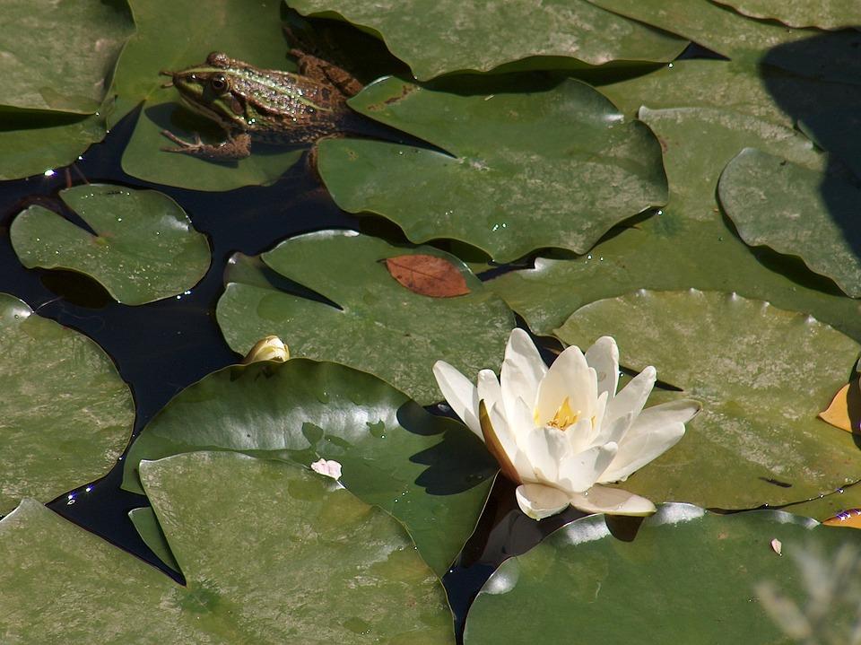 Frog, Waterlily, Prince, Lake