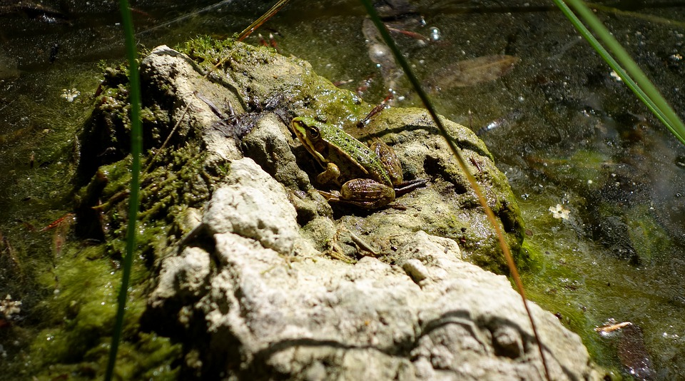 Frog, Toad, Pools, Water, Green Frog, Frog On Stone