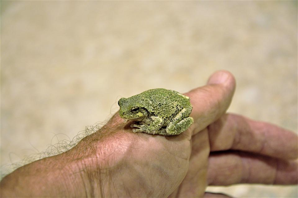 Frog Perched, On Person's Hand, Young Frog, Tree Frog