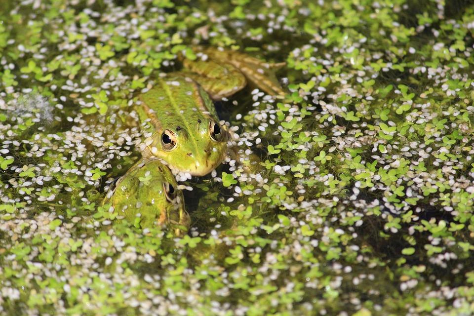 Frog, Pond, Amphibian, Pond Inhabitants, Animal