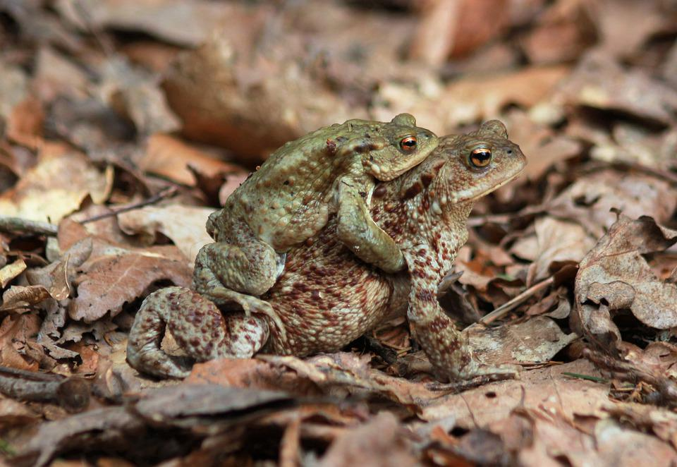 Common Toad, Bufo Bufo, Amphibians, Frog, Reproduction