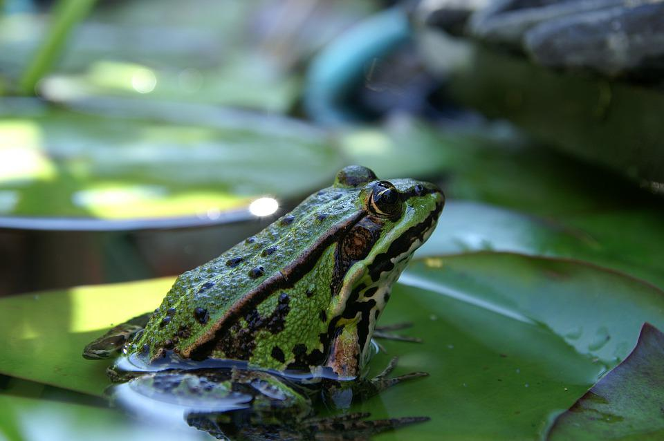 Frog, Nature, Animal, Pond, Green, Amphibian, Water