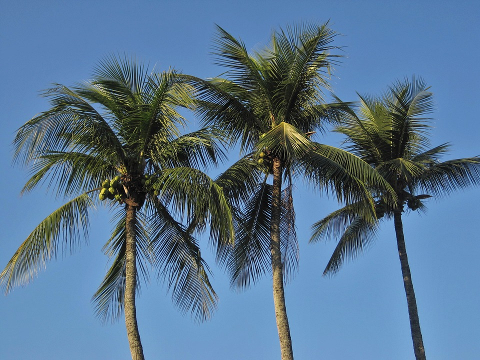 Royal Palms, Coconut Trees, Frond, Blue, Blue Sky