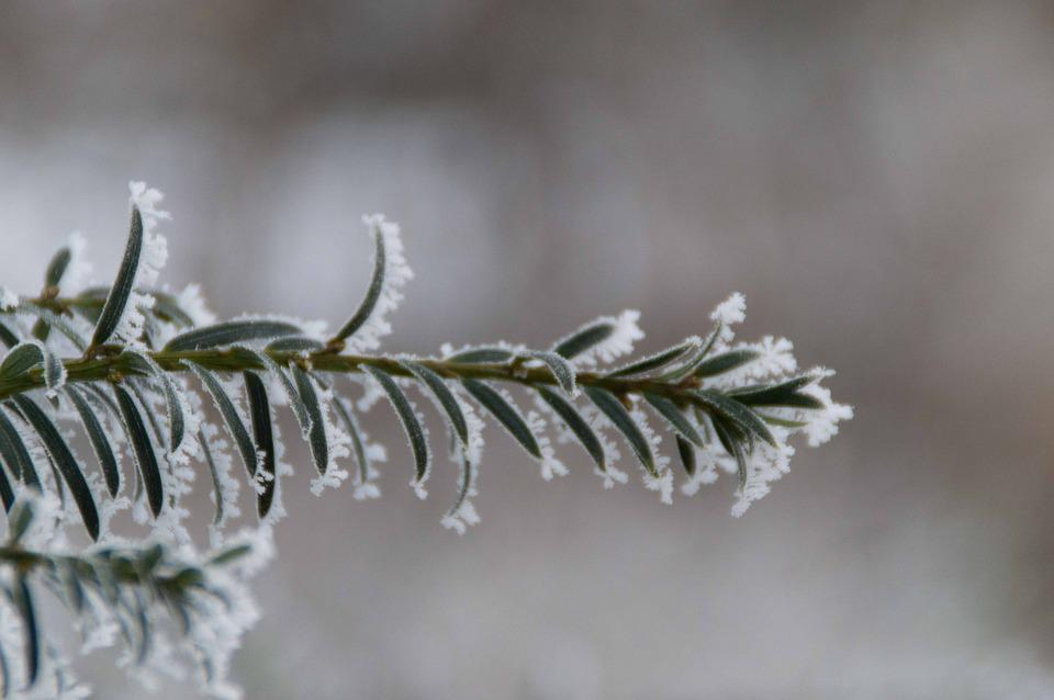 Winter, Ripe, Branch, Nature, Freezing, Frozen, Frost